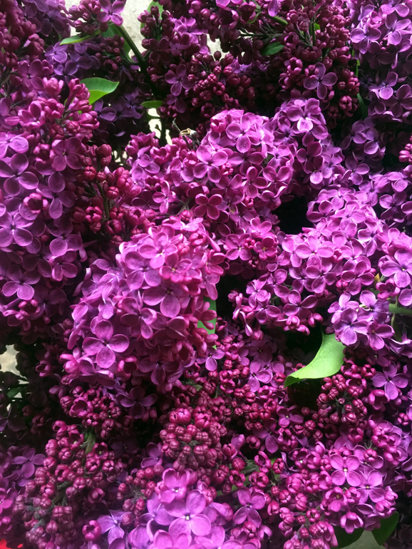 purple lilacs bunched and wrapped