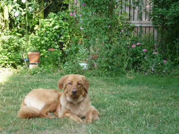 Hovawart Frieda in de tuin in Ohe (Foto Marij Coenen 5 augustus 2018).