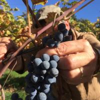 Druiven plukken op Roozendael