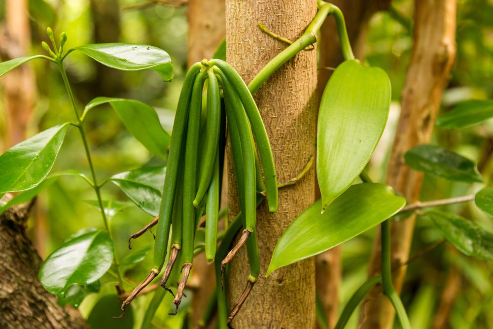 Vanilla species & types