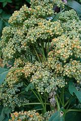 quinoa, by net_efekt