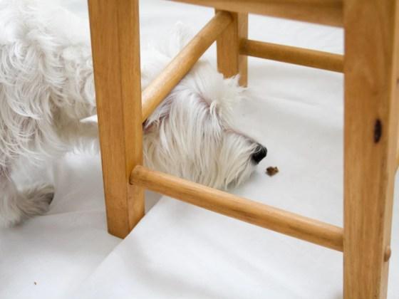 5 Indoor Activities To Do With Your Dog - Hidden Treasure   Vanillapup