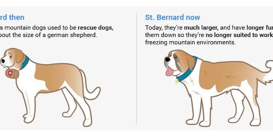 Saint Bernard Before And After 100 years | Vanillapup