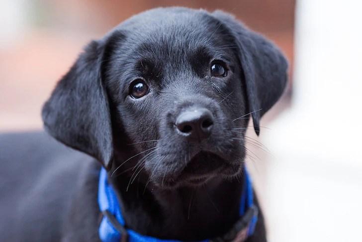 Curious Black Labrador   Vanillapup