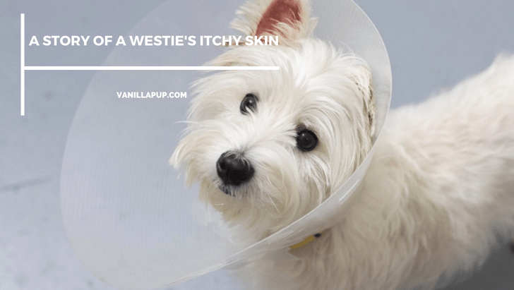 A Westie's Itchy Skin Recovery Story | Vanillapup