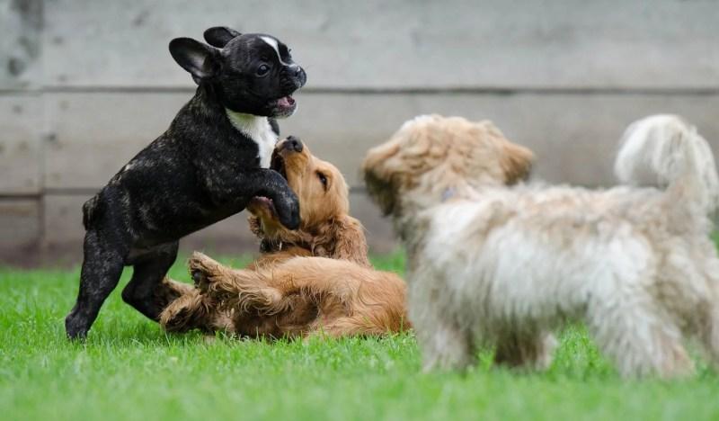 Playing Puppies | Vanillapup