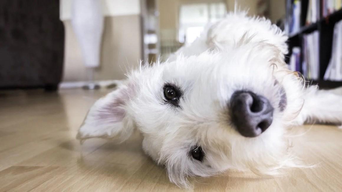 Dog Lying at Home | Vanillapup