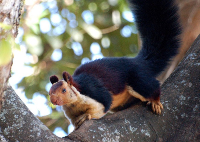 Indian Giant Squirrels in kerala wildlife