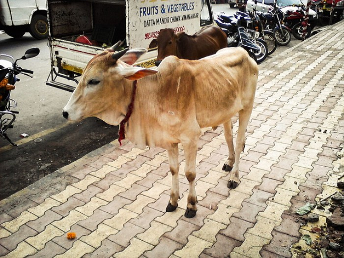 A skinny cow in India