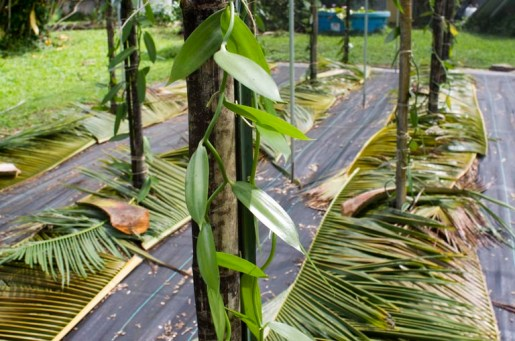 The vines attach themselves to the bamboo and begin climbing up.