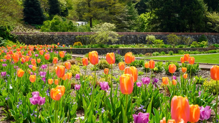 tulips at biltmore estates