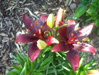Lillies and woodchips
