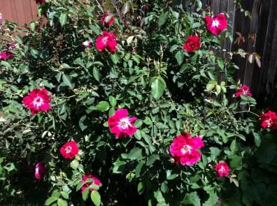Pinkest Native Roses