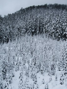 TreesOnBarlowButtes