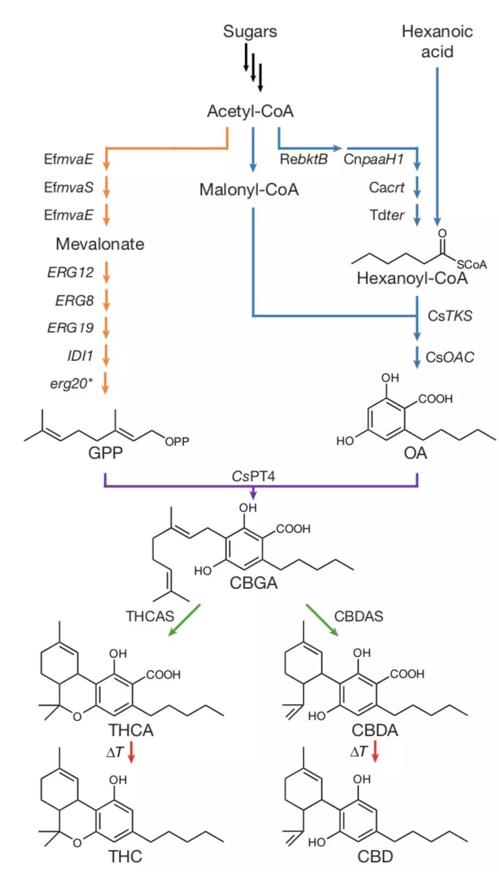 CBD Biosynthesis