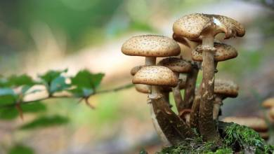 "How Magic Mushrooms Follow ""CBD"" For Potential Health Benefits"