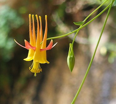Columbine, Riverside Walk