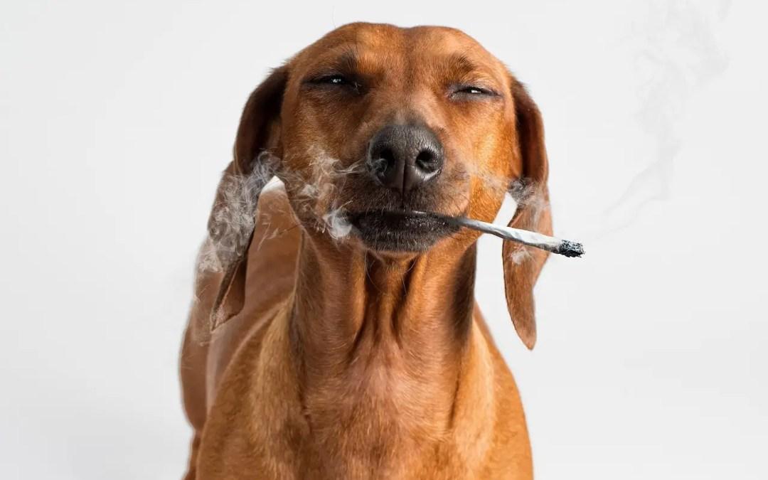 Maconha medicinal (canabidiol) também é estudada em animais