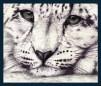 Snow lepard