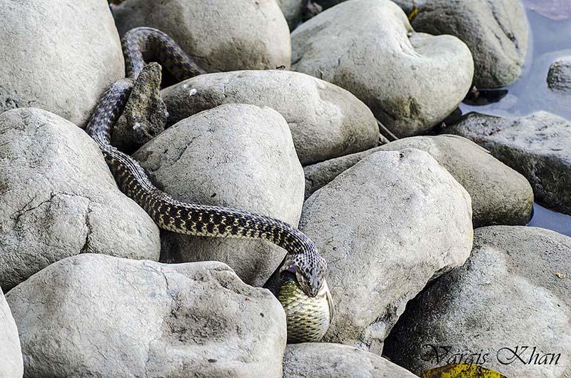 snake-catching-fish-in-karna-lake-2