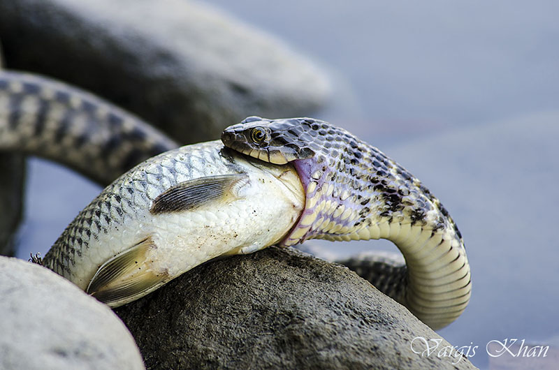snake-catching-fish-in-karna-lake-3