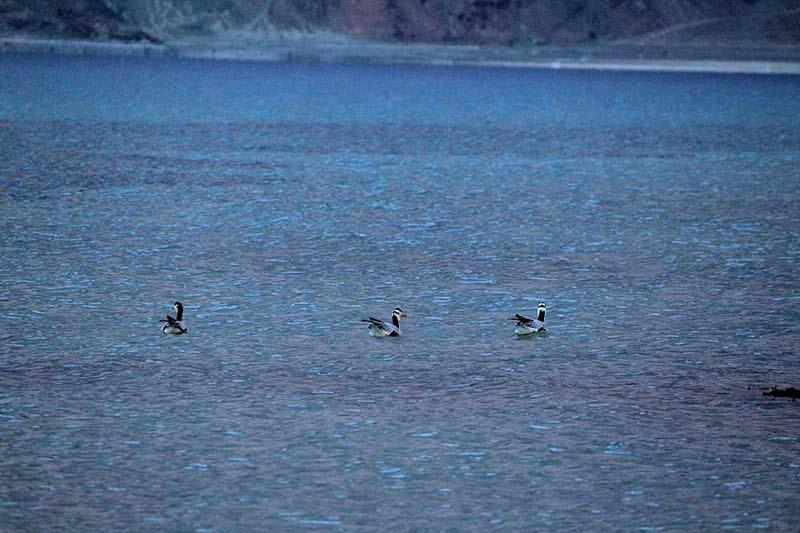 birds in pangong lake