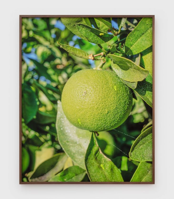 Yellow citrus dangles in the foreground, dripping with tantalizing flavor, green leaves of trees and a blue sky beyond it.