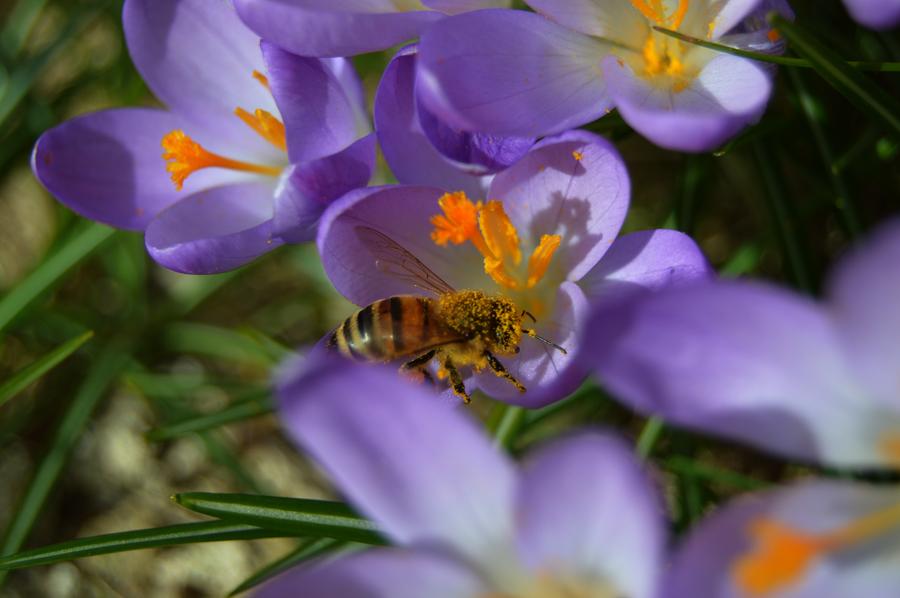 Bi fyldt med pollen. Når den flyver fra blomsten, flyttes det til dens bagben.