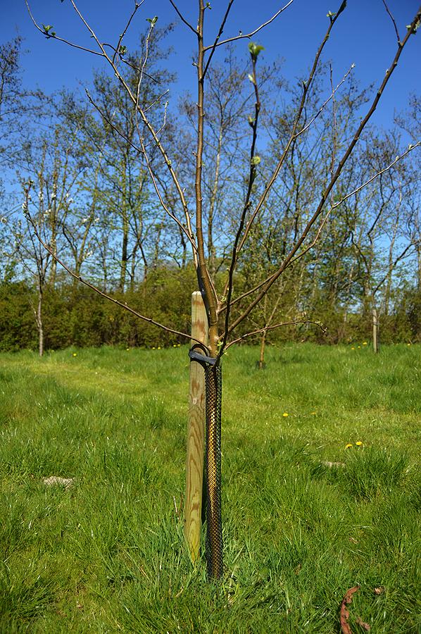 Beskyttet stamme på frugttræ.