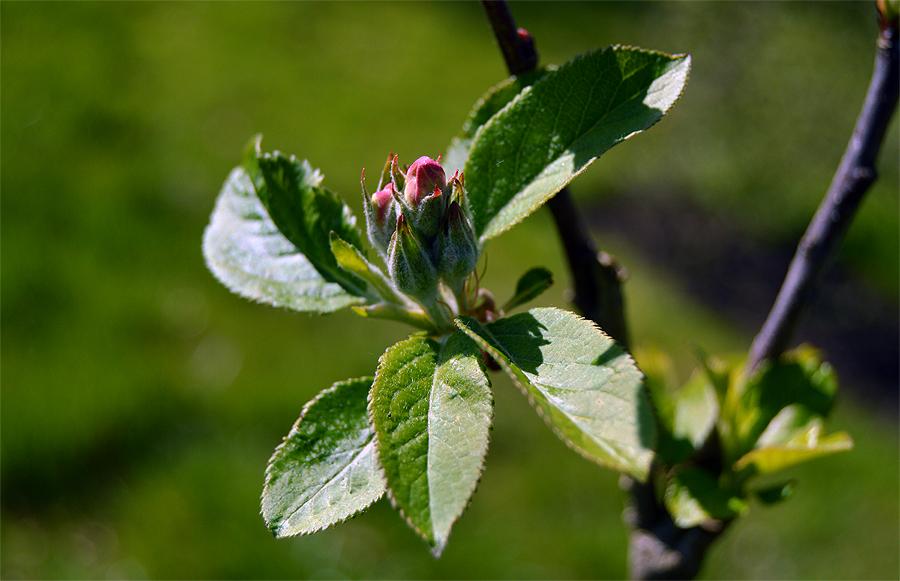 Blomsterknop på et æbletræ.
