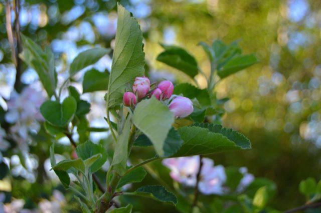 Blomster i æbletræ