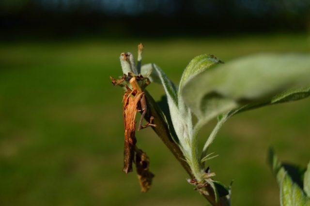 Frugttræ skadet er rådyr