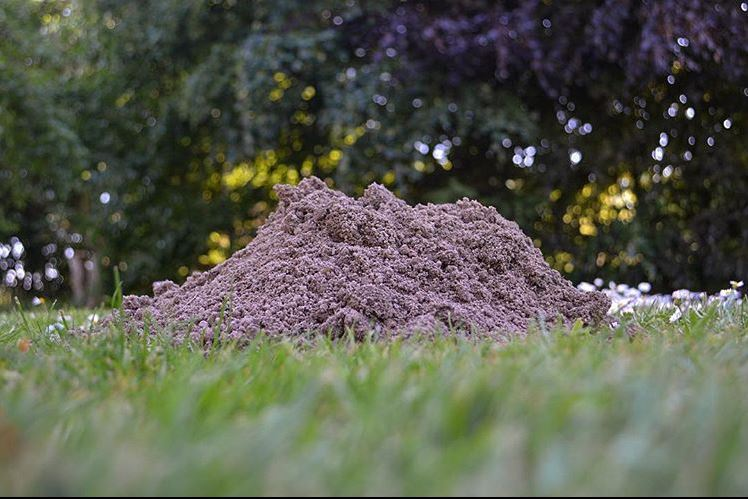 Muldvarpeskud i græsplæne