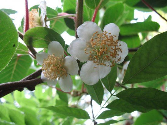 Αρσενικό φυτό ακτινίδιο