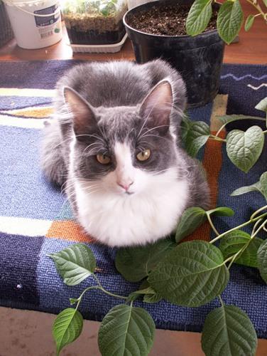 Macska a liana kiwi-nál