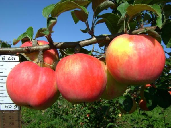 Сорт яблони Услада описание характеристика и отзывы а
