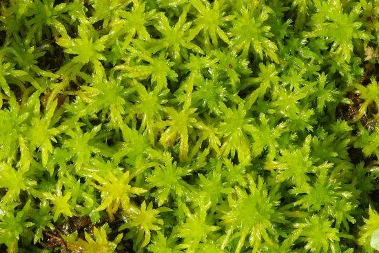 Moss-Sfagnum