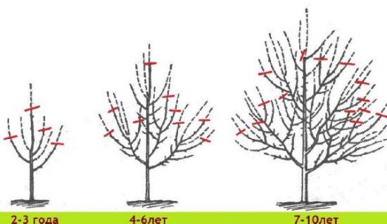Как вырастить яблони сорта синап орловский у своем саду