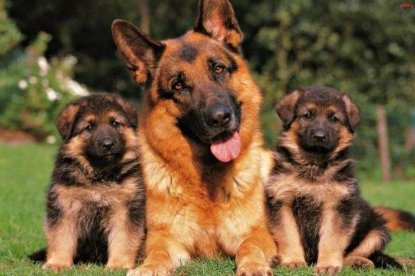 Где у собаки находится сердце: функции сердца и ...