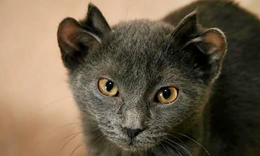 Кошка Йода Фото И Цены