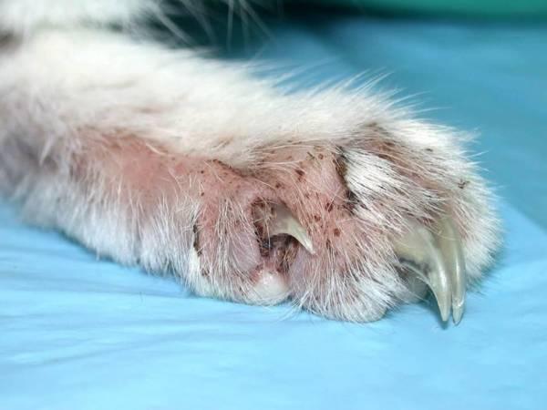 Малассезиозный отит у собак в мазке