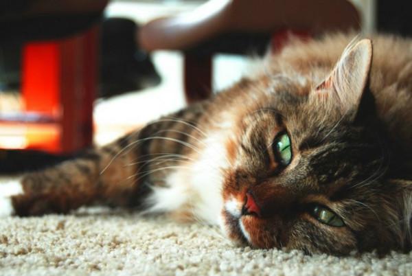 Симптомы стадии и методы лечения лимфомы у кота