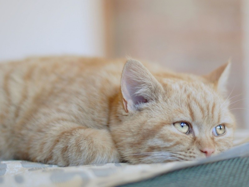 Амоксиклав суспензия дозировка для котов при мкб. Амоксициллин для кошек: сведения о препарате и показания к применению. Использование медикамента для лечения беременных кошек