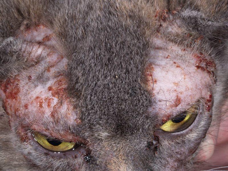 Лечим расчесы у кошек: быстро, эффективно, правильно