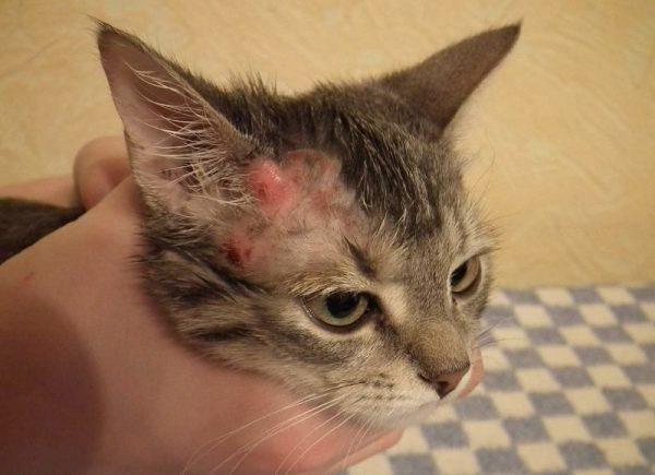 Лечим расчесы у кошек быстро эффективно правильно