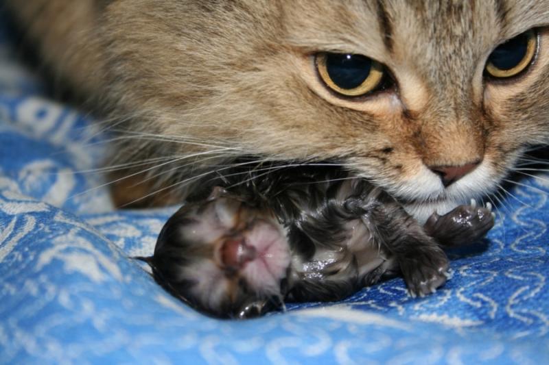 Почему рождаются мертвые котята или причины выкидыша у кошки