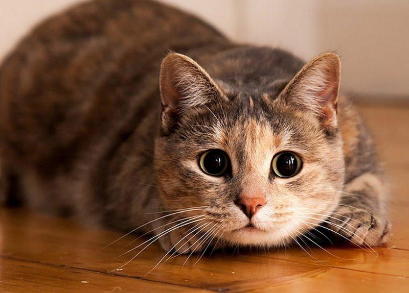 Со скольки беременеют кошки. Выясняем, в каком возрасте кошке можно рожать! Девятая неделя: подготовка к родам