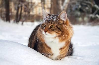 Кошки зимой. При какой температуре кошки могут жить на улице: какие породы не переносят холода При какой температуре погибают бесшёрстные кошки