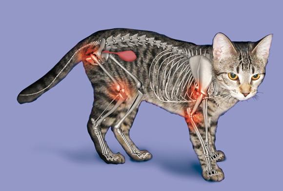 Артрит и артроз у кошек препараты