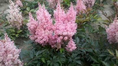 Astilbe Look at Me 3